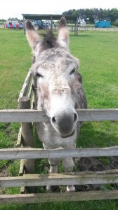 A donkey looking over a fence