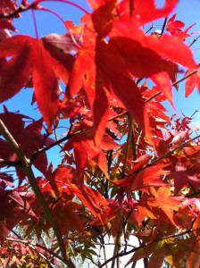 An image of bright red leaves against the blue sky