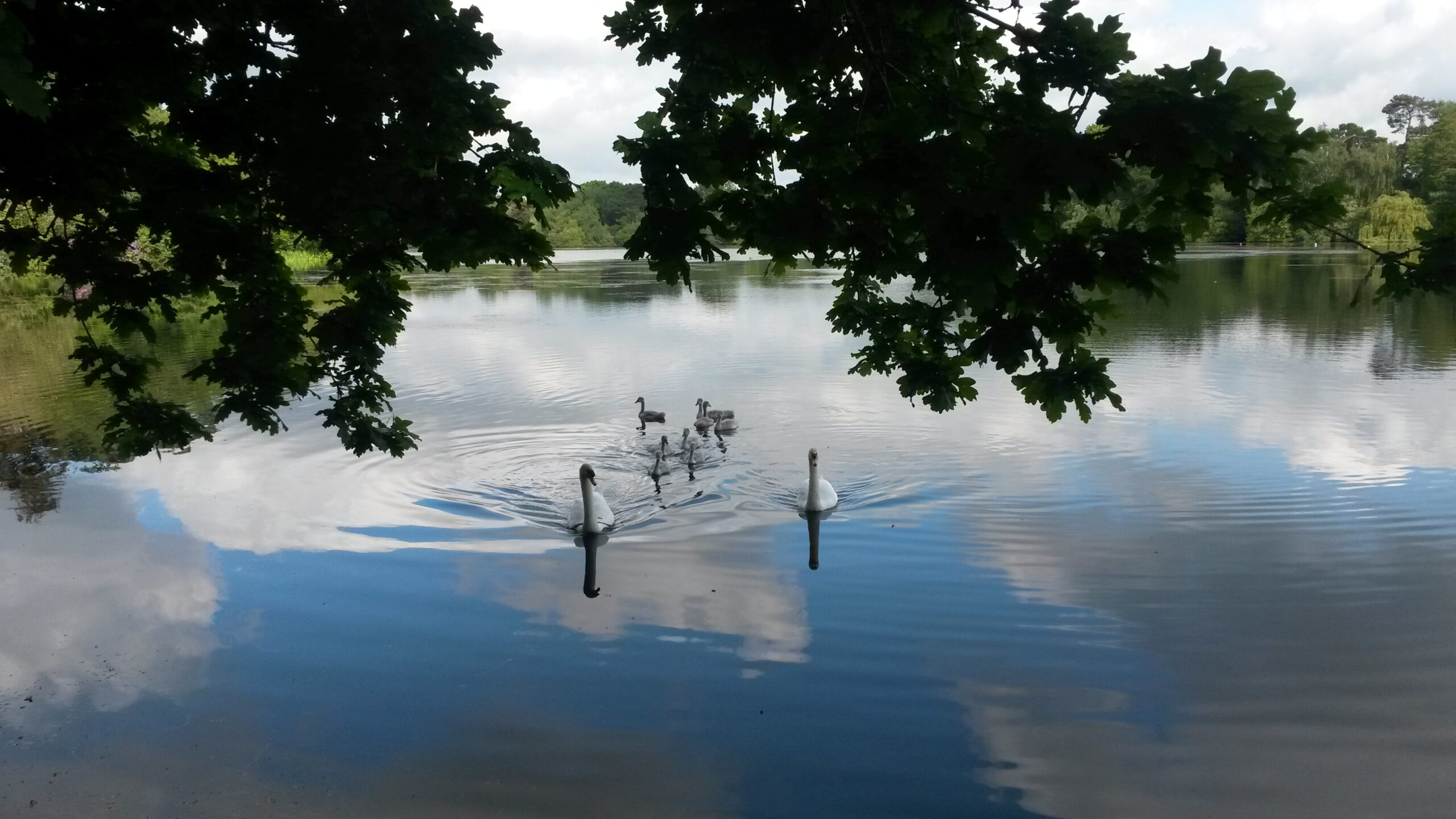 A view of a beautiful lake with a family of swans swimming towards the camera